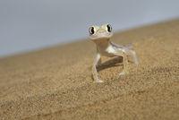 Namibgecko auf einer DŸüne