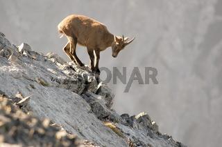 kletternder Steinbock