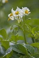 Potato flowers in early summer