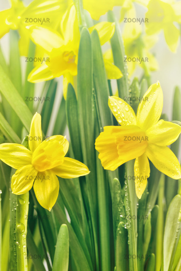 Yellow spring narcissus flowers and green leaves