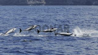 Springender Grosser Tuemmler [M], Jumping Bottlenose Dolphin [M]