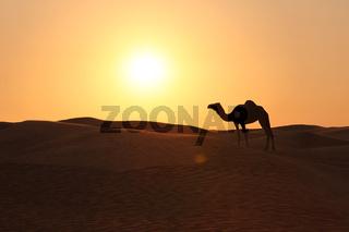 Kamel in der marokkanischen Wüste im Abendlicht