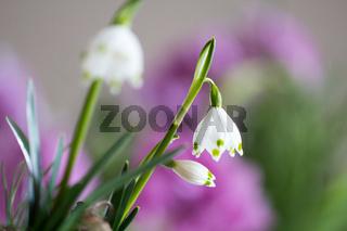 Die Märzenbecher blühen - (Leucojum vernum)