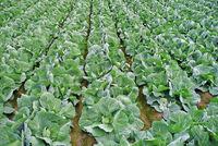 cabbagefield