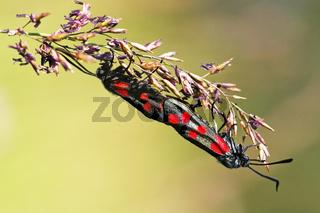 Sechsfleck-Widderchen, Blutstroepfchen, (Zygaena filipendulae) bei der Paarung, Six-spot Burnet mating