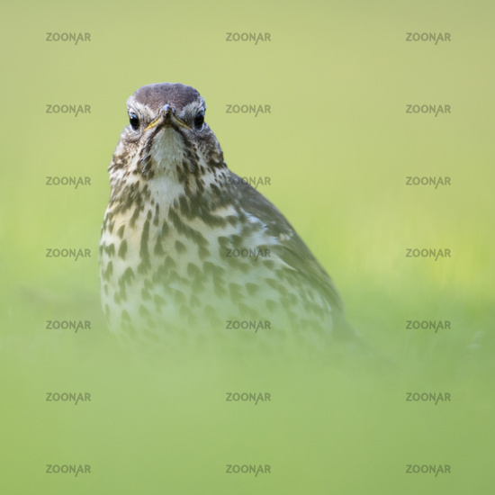 sitting on the ground... Song Thrush deep in the grass *Turdus philomelos*