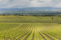 Vineyard in the Barolo area