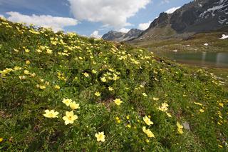 Gelbe Alpen-Küchenschelle, Pustilla apiifolia