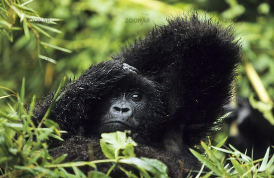 Kleiner Berggorilla,  Gorilla beringei beringei, little Mountain Gorilla