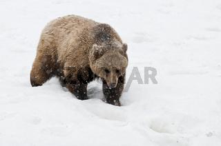 Braunbaer, Ursus arctos, im Winter