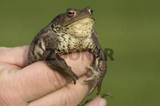 Erdkroete, in der Hand haltend, Bufo bufo, European Common Toad, in hand