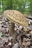 Mushroom, Eifel, North Rhine Westphalia, Germany