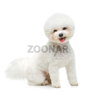 beautiful bichon frisee dog