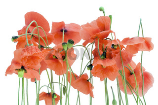 Lonely withering poppies