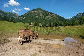 Kuh an eine Viehtränke im Allgäu
