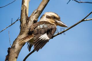 Kookaburra perching on a branch under blue sky, Yungaburra, Atherton Tablelands, Queensland, Austral