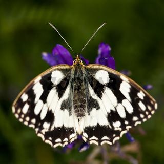 Schachbrettfalter (Melanargia galathea) - marbled white (Melanargia galathea)