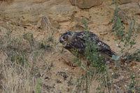 feeding on a piece of prey... Eurasian Eagle Owl *Bubo bubo* at dusk