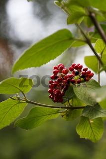 Echte Mehlbeere, Sorbus schnizleiniana, Schnizleins Mehlbeere