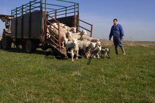 Vom Schafstall auf die Weide, Nordfriesland, Hattstedtermarsch, Deutschland