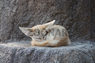 White Fennec fox or Desert fox with big ear