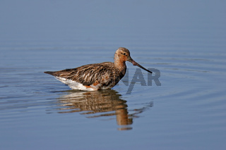 Pfuhlschnepfe, Limosa lapponica, bar-tailed godwit