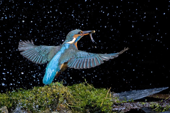 Kingfisher with fish (Alcedo atthis)