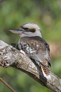 Lachender Hans (Dacelo novaeguineae), Queensland, Australien