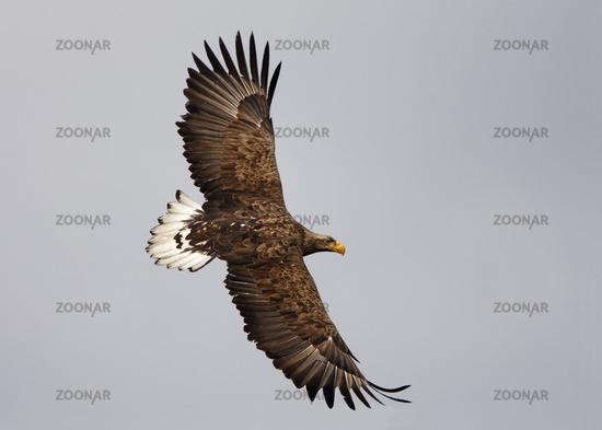 Haliaeetus albicilla, White-tailed Eagle, Europe
