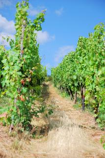 Weinreben in einem Weinstock, Rüdesheim, Romantisches Rheintal, UNESCO Welterbe Oberes Mittelrheintal, Rheinland-Pfalz, Deutschland, Europa
