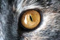 Closeup macro shot of a yellow single cat eye. The feline has graceful grey fur in natural light.