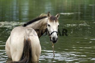 Jaehrlingshengst,Quarterhorse-Mix im Wasser