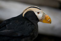 Closeup of Head of a Tufted Puffin