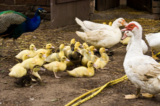 Warzenente mit Küken, muscovy duck with ducklings, Cairina moschata