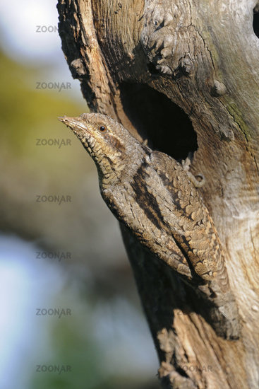 in front of its nesting hole... Eurasian Wryneck *Jynx torquilla*
