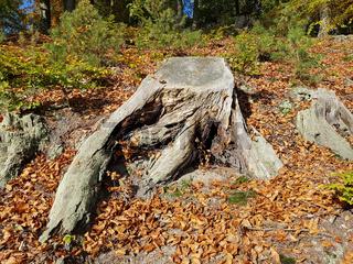Baumstumpf einer Buche im Herbstwald