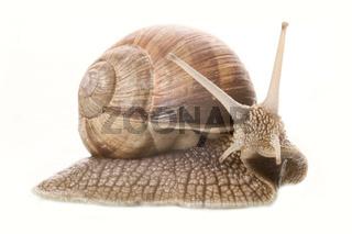 Weinbergschnecke (Helix pomatia) - Helix pomatia