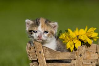 Kaetzchen sitzend in Schubkarre, kitten sitting in a hand barrow