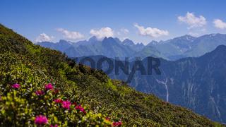 Alpenrosenblüte am Fellhorn, dahinter die Allgäuer Alpen, Allgäu, Bayern, Deutschland, Europa