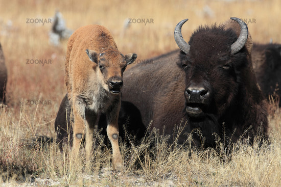 Bison bull with calf in Yellowstone Park