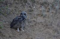 owlet exploring its surrounding... Eurasian Eagle Owl *Bubo bubo*