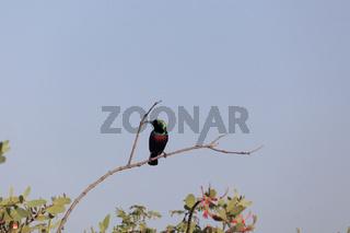 A Shining Sunbird (Cinnyris habessinicus) on a branch in East Africa.