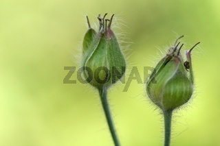Samenkapseln des Wiesen-Storchschnabels