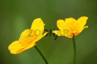 Sumpfdotterblume, Caltha palustris, Marsh Marigold, Kingcup