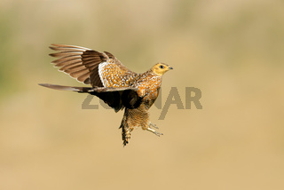Sandgrouse in flight