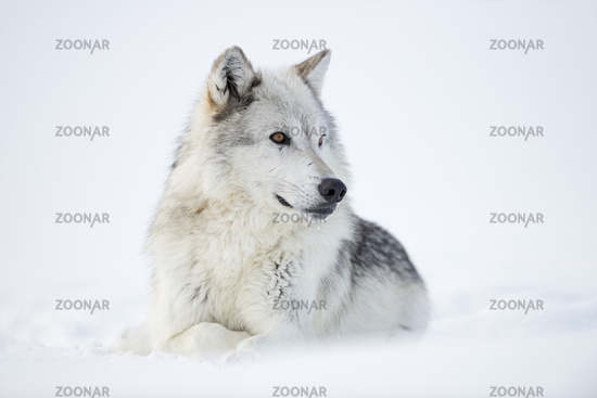 looks nice... Gray Wolf *Canis lupus*