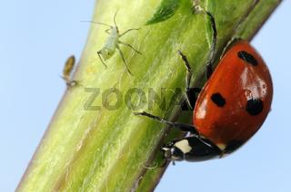 Siebenpunkt-Marienkaefer, Coccinella septempunctata, Sevenspot-Ladybird