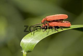Scharlachroter Netzkäfer  Dictyoptera aurora