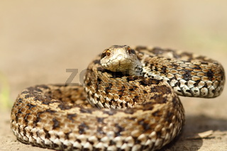 angry european meadow viper ready to strike ( Vipera ursinii rakosiensis )