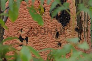 Rosafarbener Saftporling (Rhodonia placenta)